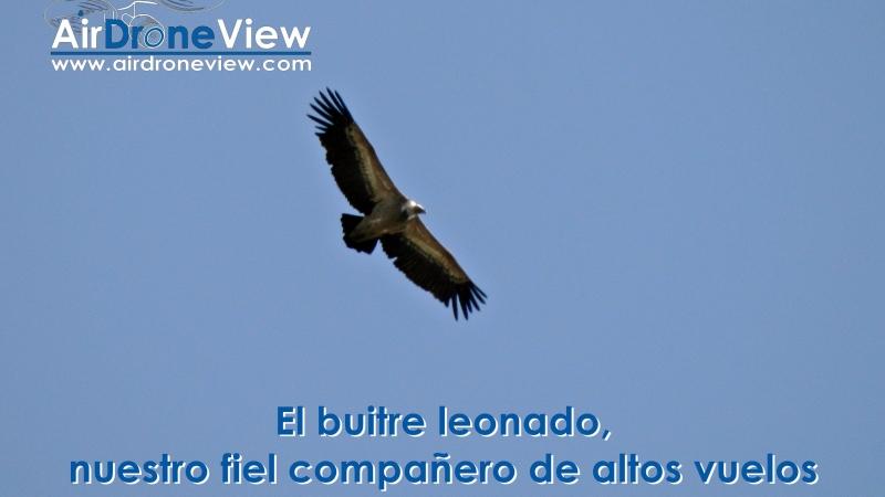 El buitre leonado, nuestro fiel compañero de altos vuelos enExtremadura