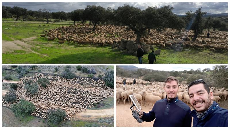 Grabando a 2500 ovejas enExtremadura